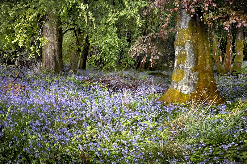Gartmore-House-Blue-Bells_.jpg